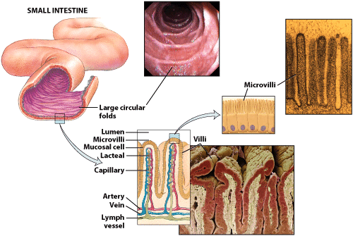 Absorption Digestion Digestion And Absorption