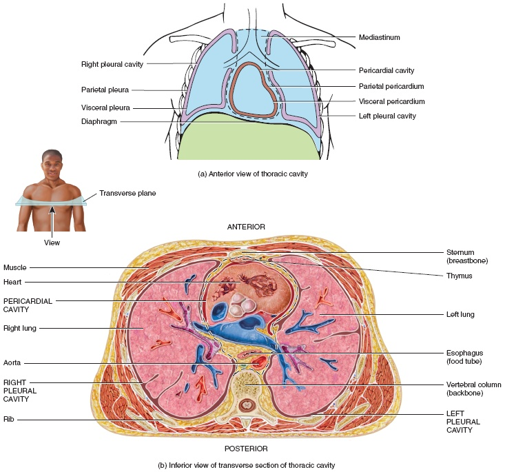 5152911 furthermore Cross Section Of Human Kidney With Label Parts moreover Mesh info also anatomychartee as well Abdominal Anatomy Of Female Anatomy Of The Abdomen Female Human Anatomy Diagram. on human body cavities with organs labeled