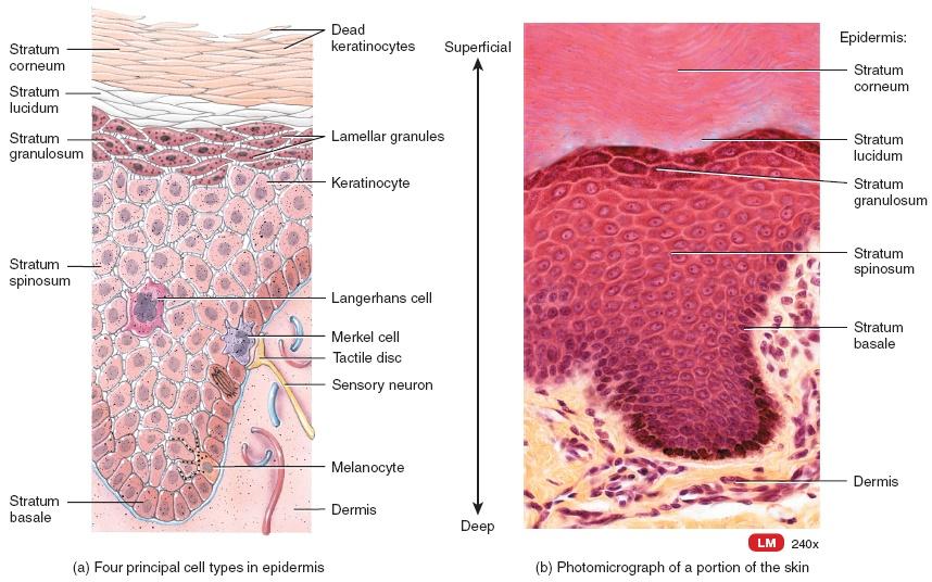 layers of the epidermis, Cephalic Vein