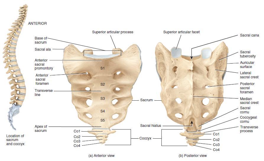Sacrum Anatomy Base and Apex of Sacrum