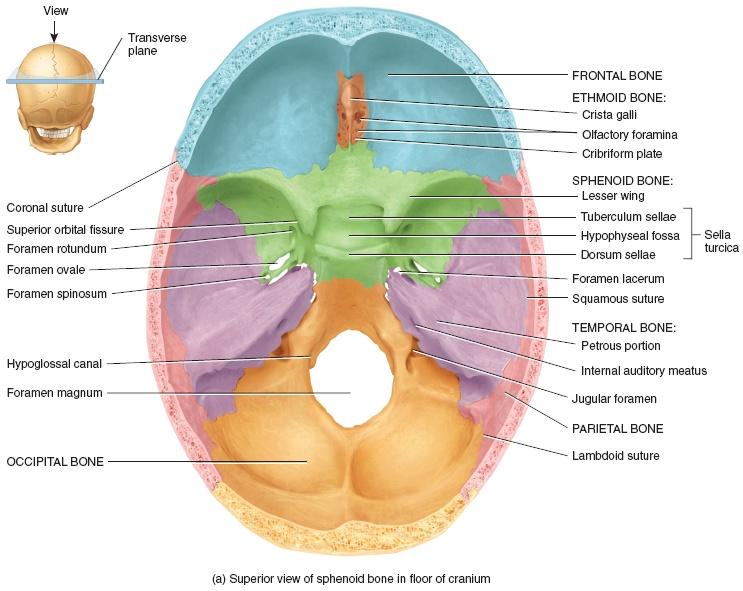 keystone of the cranial floor – meze blog, Human Body