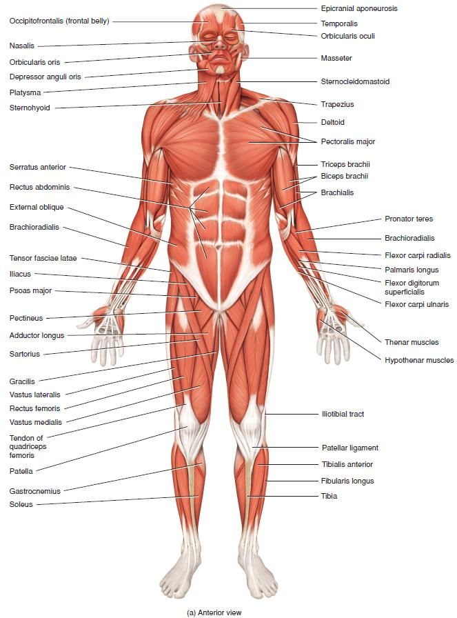 principal superficial skeletal muscles, Human body