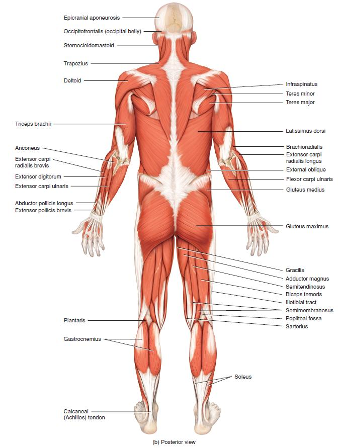 principal superficial skeletal muscles, Muscles