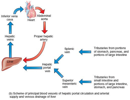 Hepatic Portal Circulation