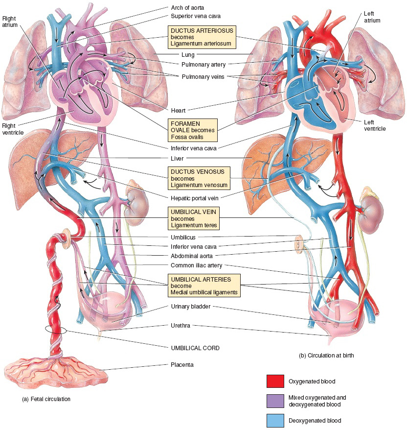 Fetal Circulation - Lessons - Tes Teach