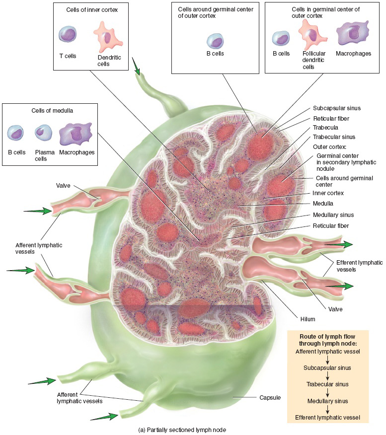 structure of a lymph node, Human Body