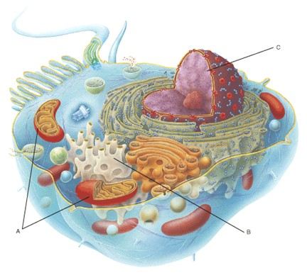 animal cell and its functions. animal cell and its functions.